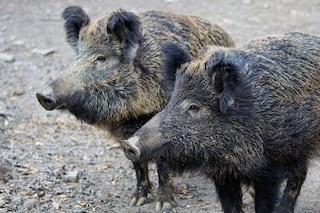 L'invasione dei cinghiali è colpa dei cacciatori e di chi li tratta come cuccioli da sfamare