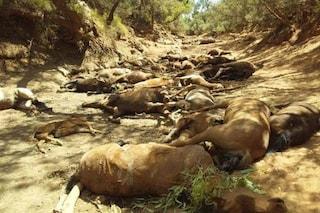 Strage di cavalli in Australia a causa dei cambiamenti climatici: corpi sparsi per 100 metri