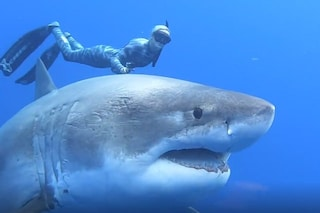 Riapparsa Deep Blue, lo squalo bianco più grande mai filmato: è lunga 6 metri, forse incinta