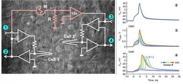 Una slice di cervello di ratto in cui sono identificate due cellule neocorticali (Cell1,2), M indica il Memristor Organico, in bianco lo schema elettrico semplificato del circuito.