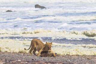 Tre leonesse hanno iniziato a cacciare animali marini in Namibia: otarie e cormorani nel menù