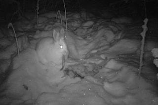 Lepri cannibali sui monti canadesi: si nutrono anche di piume e carne di lince
