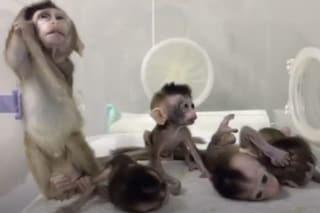 Perché i cinesi hanno reso insonne una scimmia e poi l'hanno clonata cinque volte: VIDEO