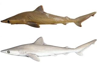 Carcharhinus obsolerus, la nuova specie di squalo che potrebbe essere già estinta