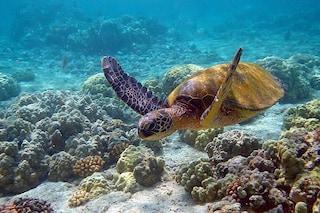 Tartarughe verdi a rischio estinzione: entro il 2100 oltre il 90% potrebbe nascere femmina