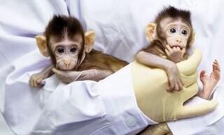 Cina, scienziati clonano cinque scimmie malate di insonnia
