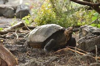 Miracolo alle Galapagos: trovata tartaruga 'estinta' 100 anni fa, è una Chelonoidis phantasticus