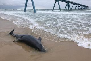 Strage di delfini in Francia: più di cento uccisi dai pescherecci in sole due settimane