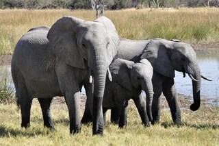 Il Botswana vuole riaprire la caccia agli elefanti: saranno trasformati in cibo per animali