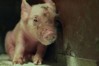 In gabbia dalla nascita alla morte: in esclusiva il video sulla 'vita' negli allevamenti