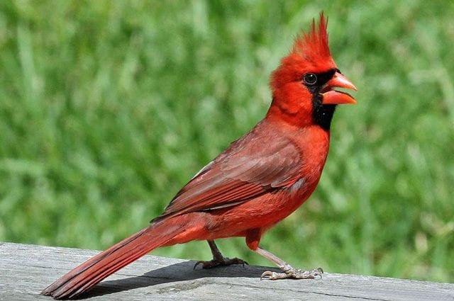 Maschio di cardinale rosso. Credit: DickDaniels