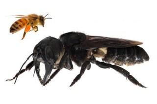 L'ape più grande del mondo riscoperta in Indonesia dopo 40 anni: si pensava fosse estinta