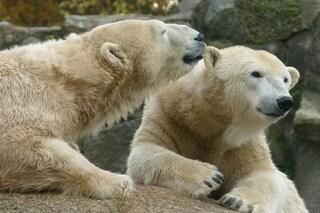 Addio orsi polari: il 30% a rischio entro 35 anni per colpa nostra
