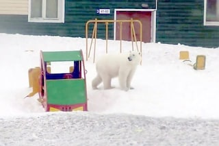 52 orsi polari affamati invadono città russa: situazione critica, ma la colpa è solo nostra