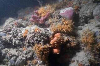 Prima barriera corallina in Italia 'spunta' a sorpresa in Puglia: come le Maldive