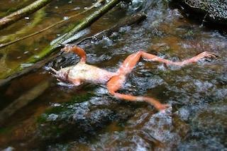 501 specie di rane decimate dal patogeno più letale della Terra: 90 sono estinte o quasi