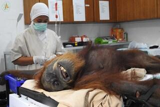 Hope, mamma orango, massacrata con 74 proiettili, tagli e fratture: il suo piccolo è morto