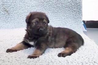 La Cina ha clonato un super cane poliziotto: la cucciola Kunxun avviata all'addestramento