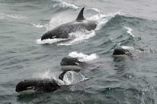 Filmata la rarissima orca di tipo D, forse è una nuova specie: le immagini spettacolari