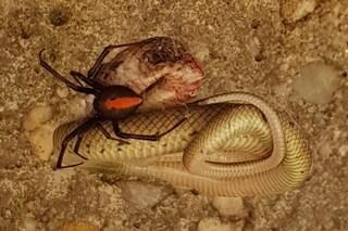 Vedova nera australiana uccide un velenosissimo serpente bruno orientale per divorarlo