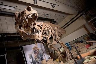 """Ecco Scotty, il """"re dei T.rex"""": è il più grande e anziano tirannosauro mai scoperto"""