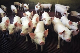 'Resuscitato' il cervello di un maiale morto da 4 ore: come ci sono riusciti e perché