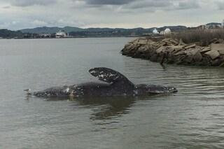 Strage di balene grigie nel Pacifico, trovate diverse carcasse: stanno morendo di fame