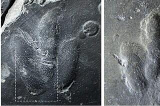 Impronte di dinosauro perfette emerse in Corea: lasciate dal minuscolo raptor Minisauripus