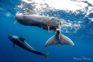Balena pilota con la pinna tranciata da una barca: scienziati in lacrime costretti a ucciderla
