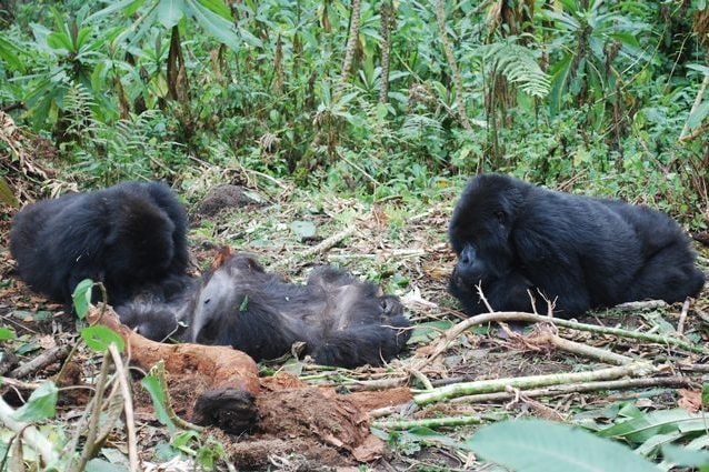 Credit: The Dian Fossey Gorilla Fund International