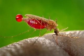 Il gruppo sanguigno 0 protegge dalla malaria grave: ecco perché