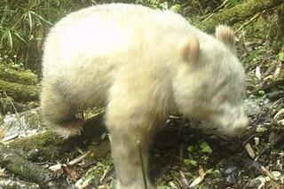 Panda albino scoperto in Cina, è tutto bianco con gli occhi rossi: una rarità in libertà