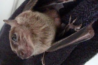 Le mamme dei pipistrelli egiziani offrono sesso in cambio di cibo
