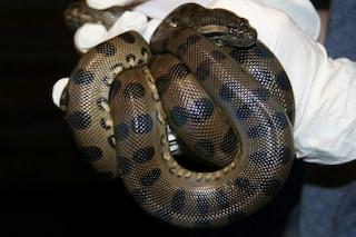 Anaconda dà alla luce due piccoli senza aver fatto sesso: cos'è la partenogenesi