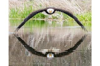 La simmetria perfetta dell'aquila calva dagli occhi di ghiaccio: è lo scatto più bello
