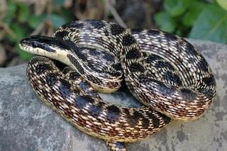 C'è una nuova specie di serpente in Europa, la più grande di tutte: chi è l'Elaphe urartica