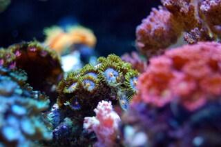 Questi super coralli delle Hawaii potrebbero salvare le barriere coralline dall'estinzione