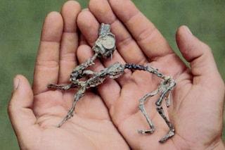 """Quadrupede da piccolo e bipede da adulto: dinosauro """"come"""" gli esseri umani"""