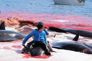 Oltre 40 balene pilota massacrate a coltellate e uncinate alle Faroe: terza strage del 2019