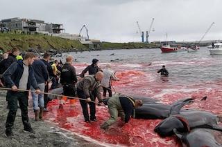 Altre 150 balene pilota massacrate a coltellate alle Faroe: alcuni delfini riescono a fuggire