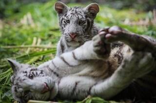 Questi due rari cuccioli di tigre bianca adesso sono al sicuro in una nuova casa