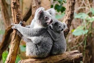 """I koala sono """"funzionalmente estinti"""", ne restano solo 80mila. Cosa significa"""