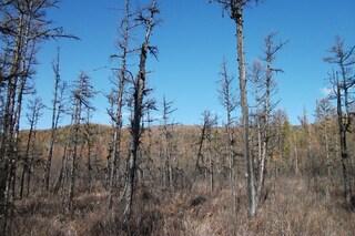 I cambiamenti climatici fanno invecchiare gli alberi: a rischio le foreste boreali
