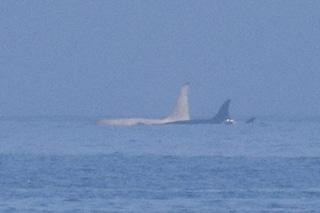 Splendida e rarissima orca bianca avvistata in Giappone