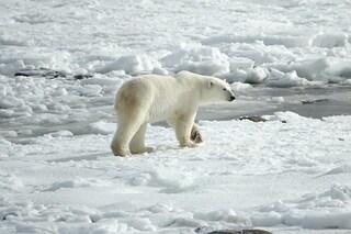 La popolazione di orsi polari dell'Artico sta crescendo: scienziati entusiasti