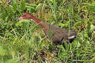 """Questo uccello si è estinto ed è """"risorto"""" dopo migliaia di anni: cos'è l'evoluzione iterativa"""