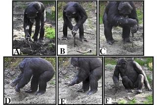 Scimpanzé scavano con strumenti per prendere il cibo: comportamento visto per la prima volta