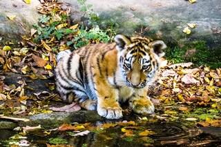 11 rari cuccioli di tigre a rischio estinzione avvistati in India: è una splendida notizia