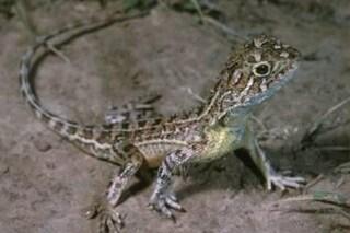 I piccoli draghi australiani sono a rischio estinzione: di uno perse le tracce dal 1969