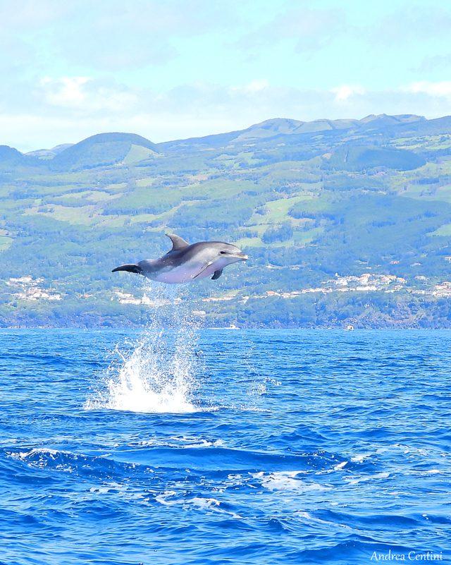 Un tursiope salta libero in natura. Credit: Andrea Centini